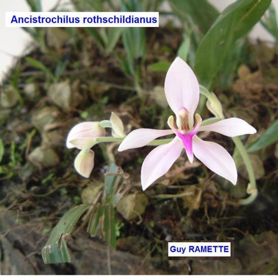 Ancistrochilus-rothschildianus